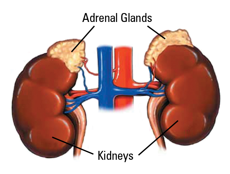 adrenal-gland-removal